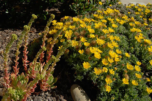 Local native plants, such as coast Dudleya and Hairy Goldenaster, put on a blooming good show.