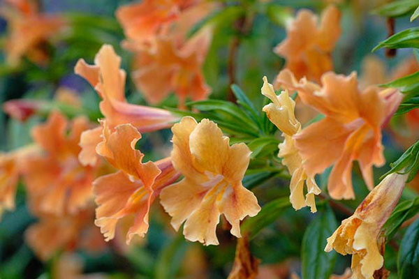 Candycane colors of a hybrid sticky monkeyflower (Mimulus sp.) brighten the garden.