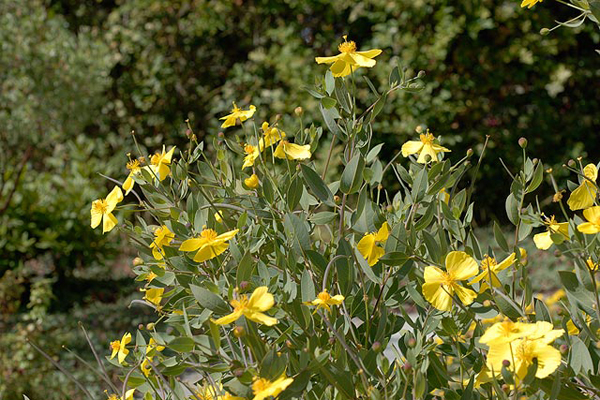 The robust upright shrub Dendromecon harfordii gives an inexhaustible supply of bright yellow poppy flowers.