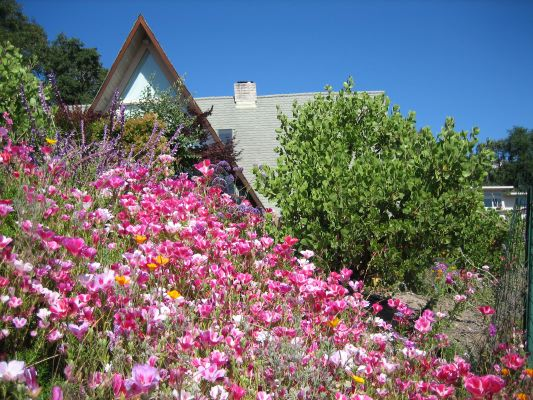 A field of Clarkia amoena (from seed) and mature Manzanita 'Dr. Hurd' brighten the steep front yard of a modern residence in Santa Clara County.