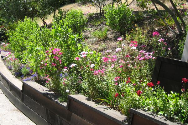 Drought-tolerant plantings above the driveway: manzanita and Clarkia.