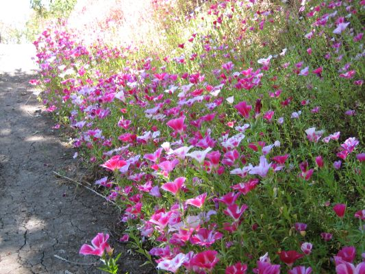 The colorful Clarkia lines the path all the way to the back yard.