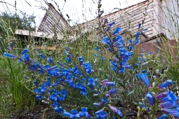 Vivid blue penstemon brightens the slope.