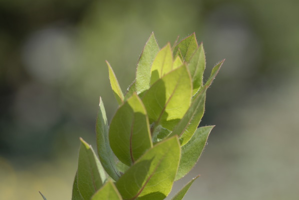 Exquisite green-and-crimson foliage of the Montara Manzanita.
