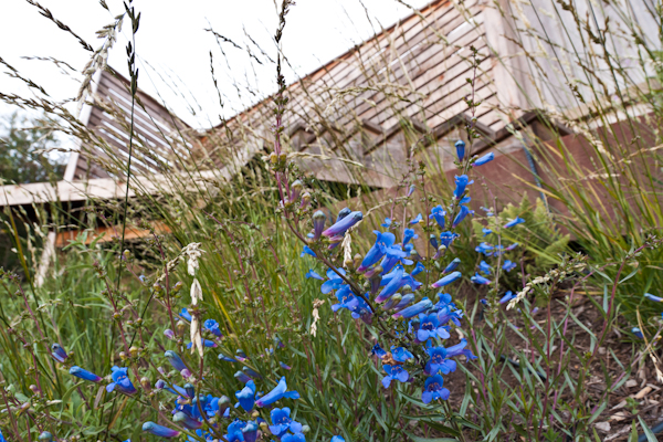 Bright blue penstemon brightens the foreground before a triangular observation deck at the very top of the property.