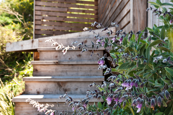 Aromatic pitcher sage graces the redwood risers to the upper deck.