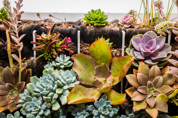 Succulents catch the light in a multitude of colorful hues.