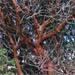 Gnarled branches and distinctive red bark of Pacific Madrone, Arbutus menziesii, Madrono