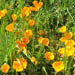 A cheerful spray of golden California poppies at Corona Heights, San Francisco, CA