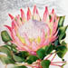 Illustration of Protea cynaroides, the King Protea