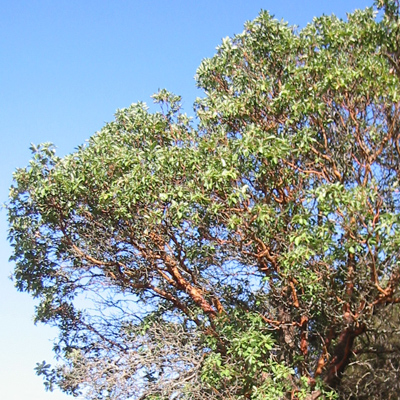 The Madrone tree is more formally known as Arbutus menziesii