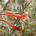 Epilobium canum, formerly Zauschenaria and still called California fuchsia, blooms devilish red in October