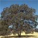Quercus douglasii, the mighty blue oak
