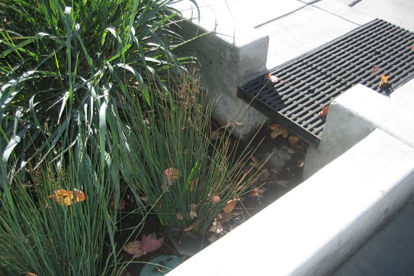 Good native plants for stormwater infiltration planters