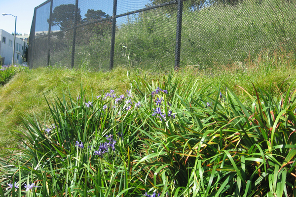 Pacific Coast Iris and Carex pansa